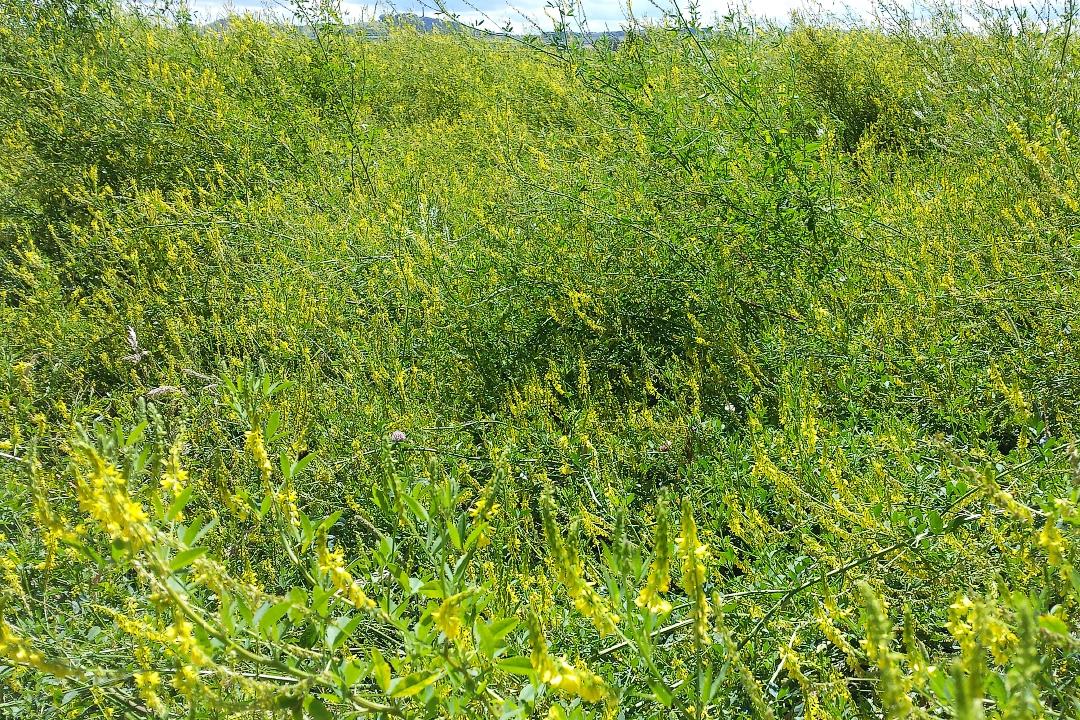Bee food field margin-web720x1080U100