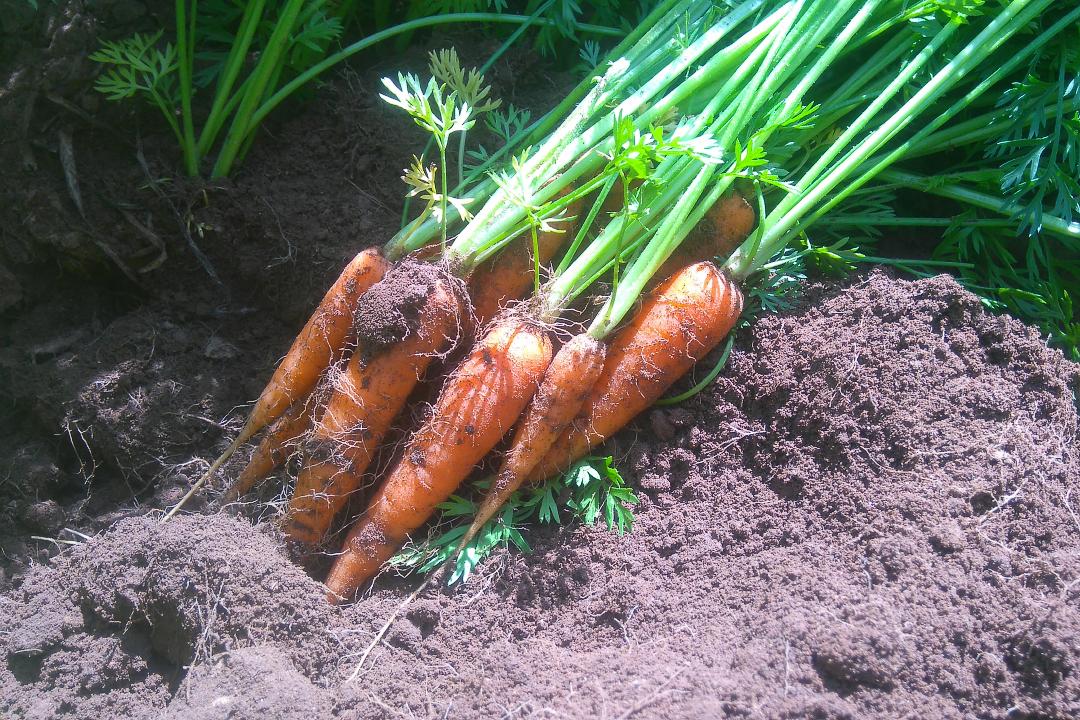Carrot test dig.jpg-web720x1080U100
