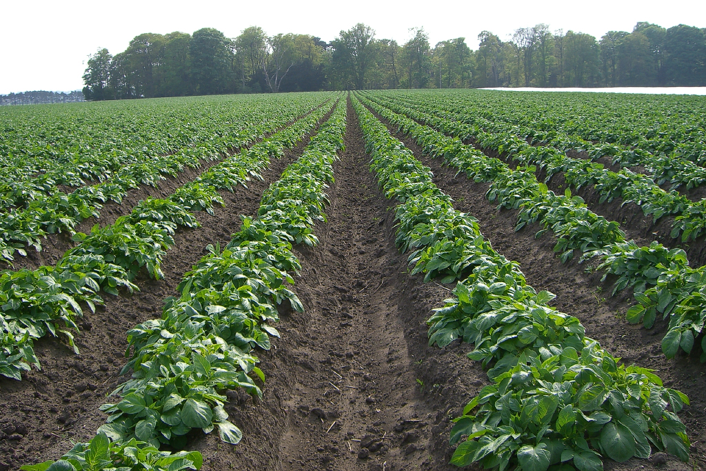 Emerging tattie crop.jpg-web683x1024U100